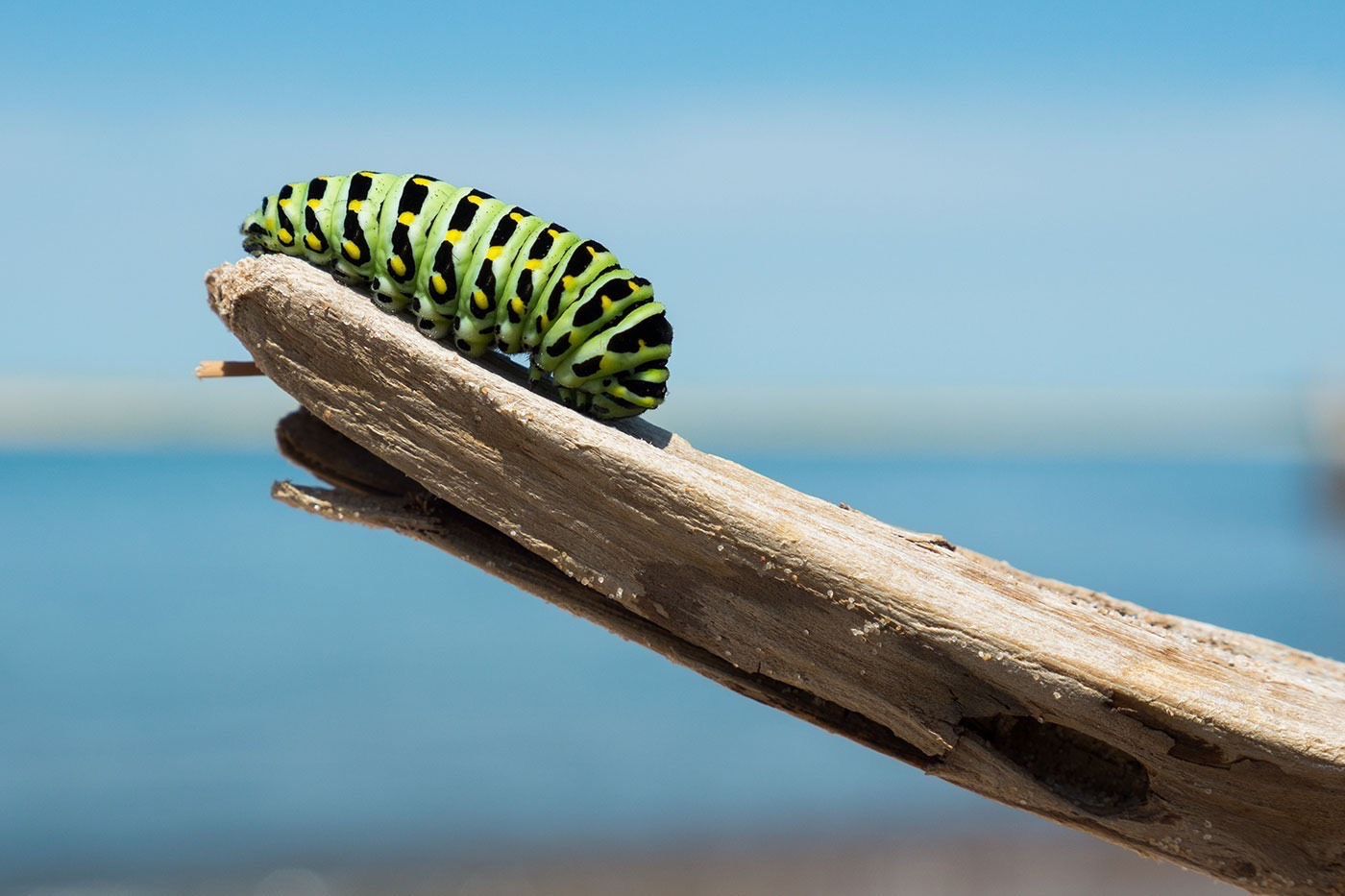 Green, yellow, and black caterpillar crawling on wood