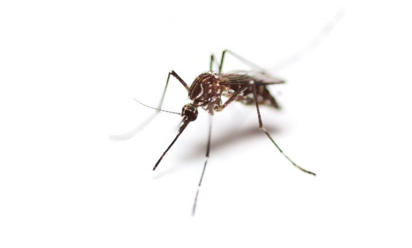What do mosquitos look like?