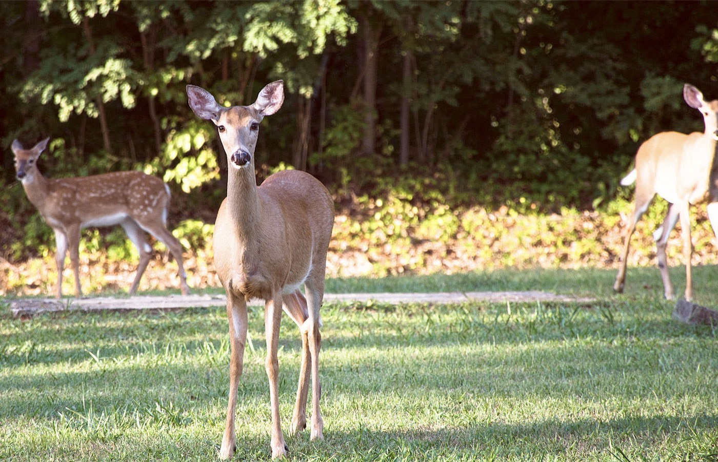 Deer roaming on lawn near the woods