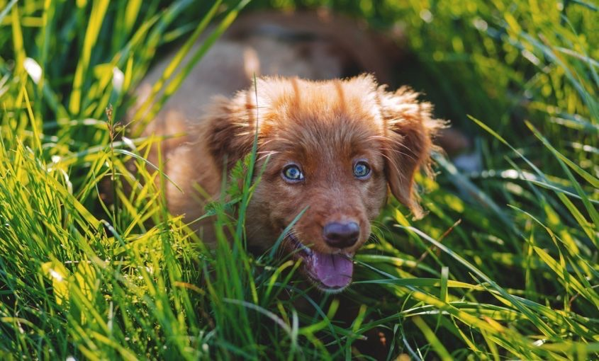 Cute brown puppy crawling through lawn with tall grass