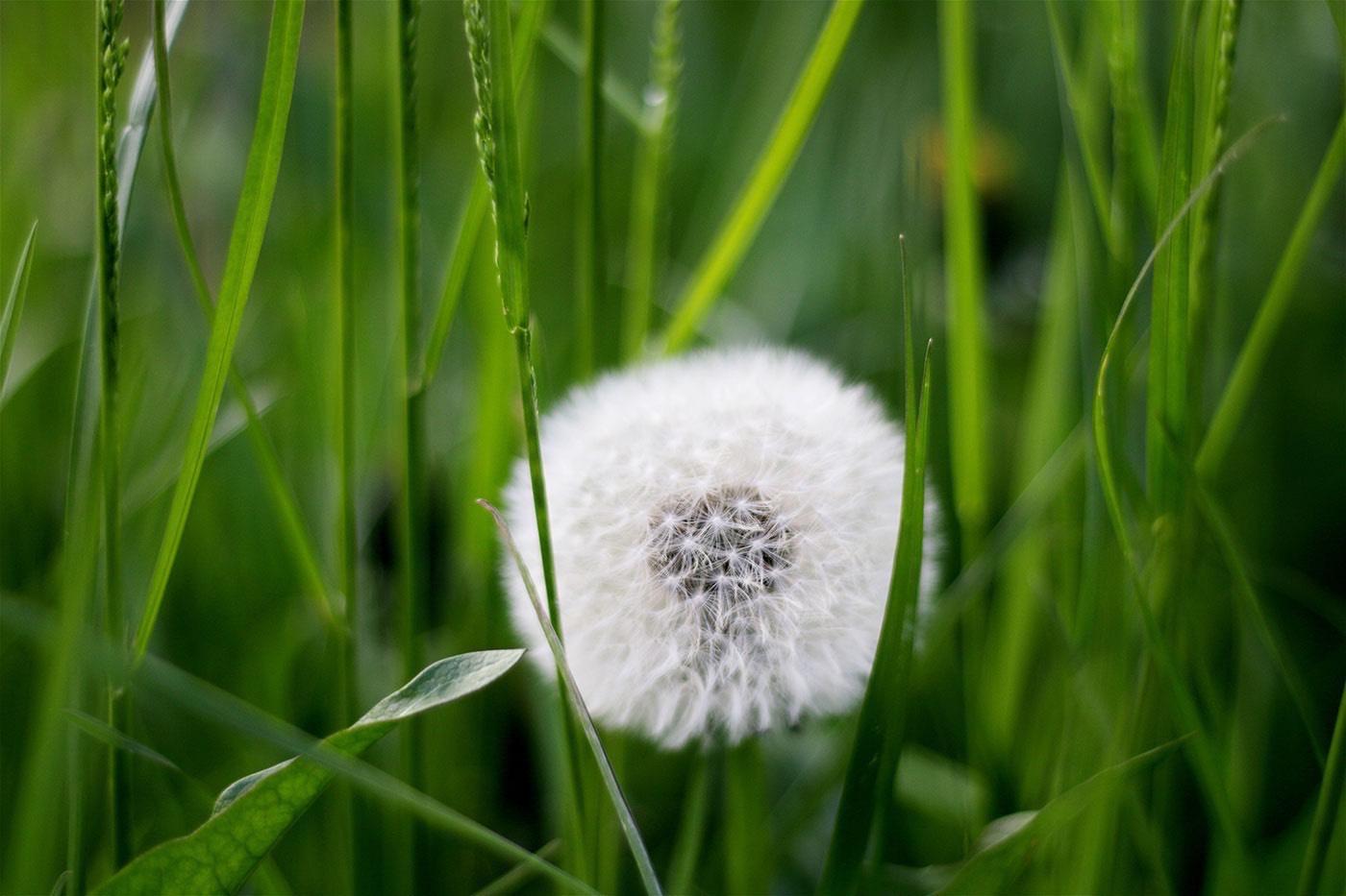 Dandelion weed control information