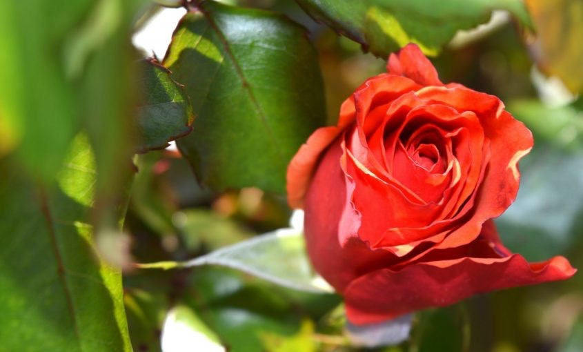 Proper Rosebush Care