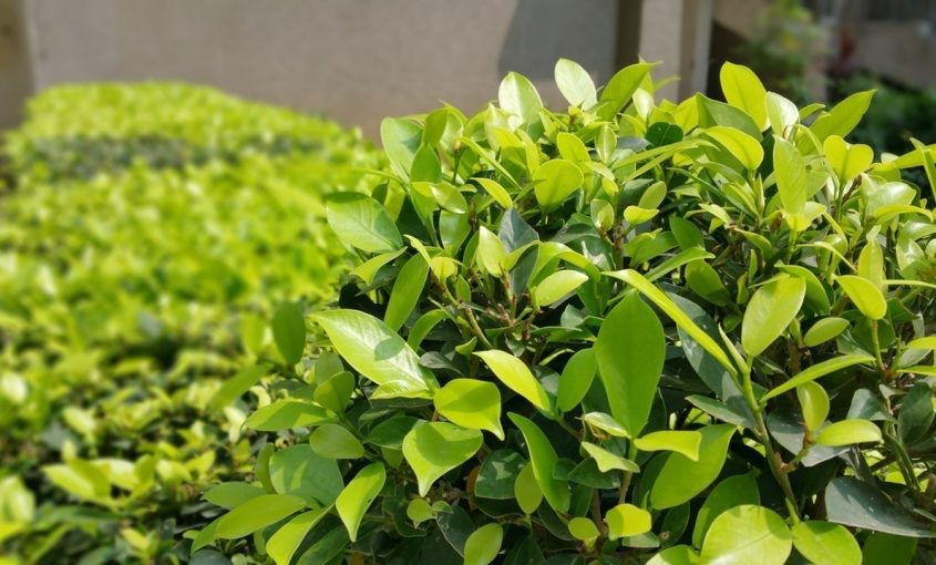 Shrubs and Bushes: How To Tell The Difference
