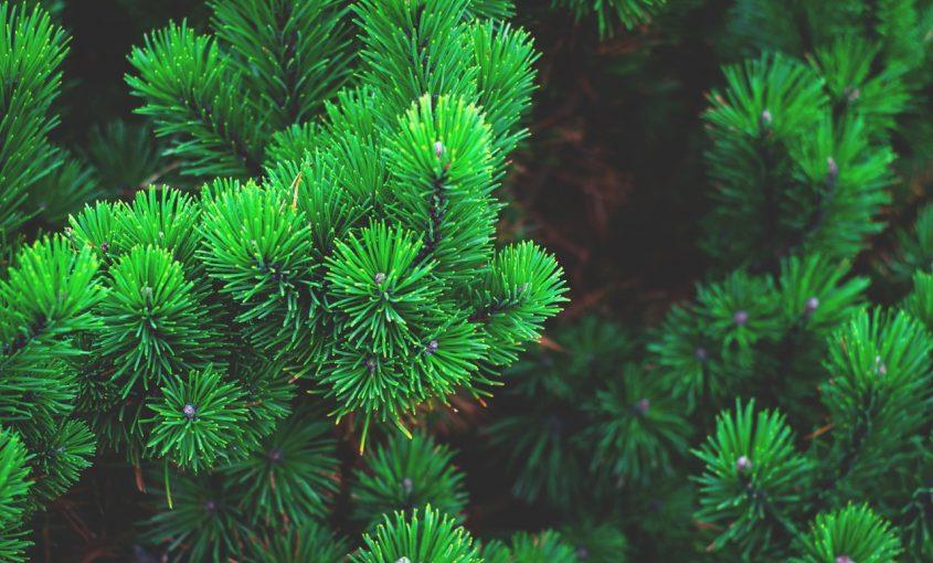Fun Facts: Evergreens